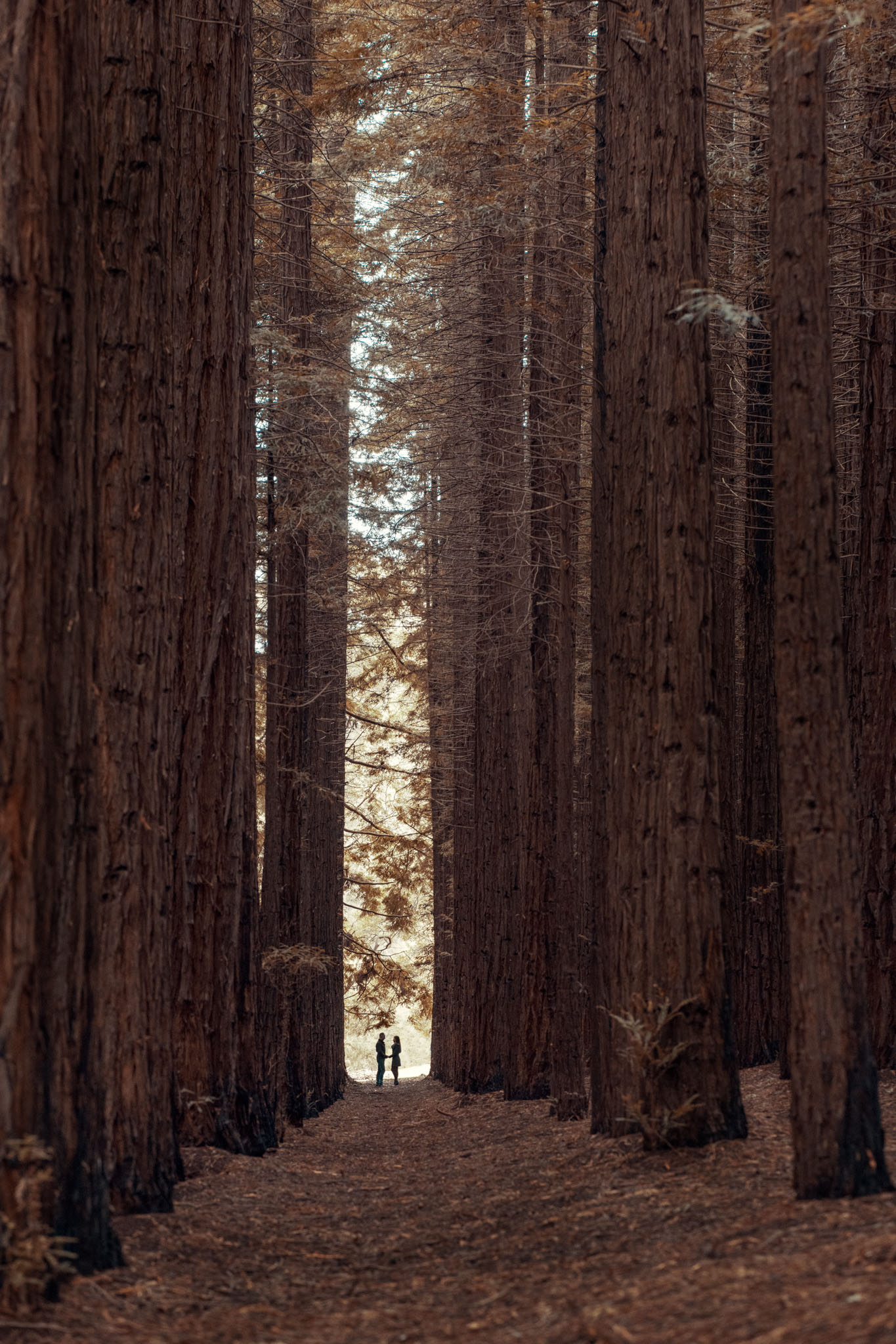 Couple standing facing each other hand in hand silhouetted amongst the giant trees of redwood forest in eastern Victoria